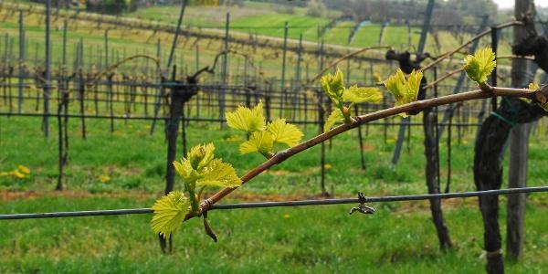 Junge Weinreben bei Wolkersdorf