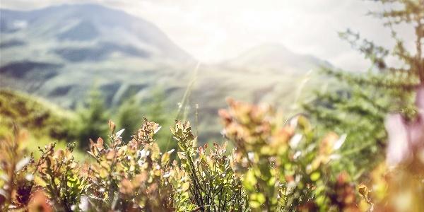 Flowers in the Simplon region.