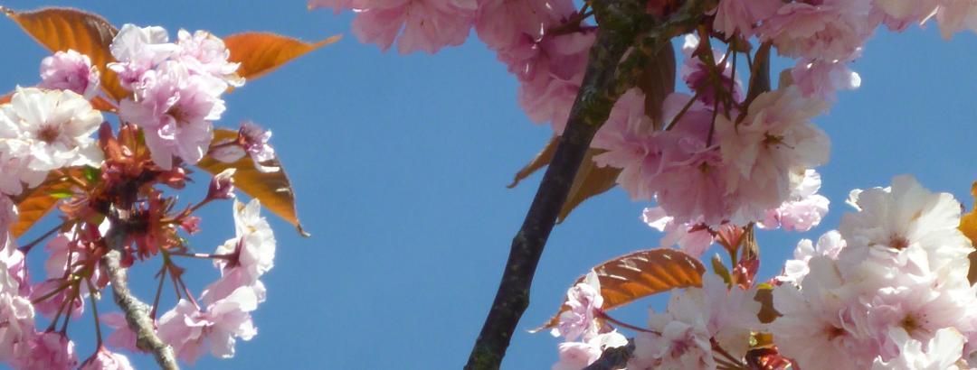 Japanischer Kirschbaum (?) in Blüte