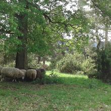 Auch Schafe wollen mal in den Schatten :-)