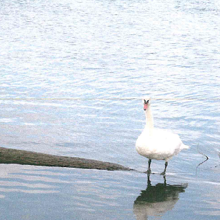 Schwan im Rhein