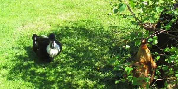 Ente und Hahn 16.15.55