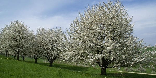 Kirschbäume Jurapark