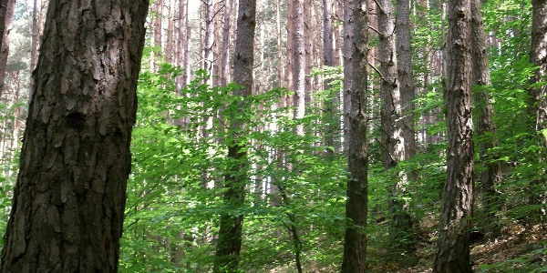 Der schöne, grüne Kastanienwald