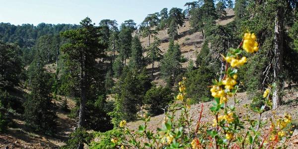 Lichter Kiefernbestand ist typisch für das Troodos-Gebirge