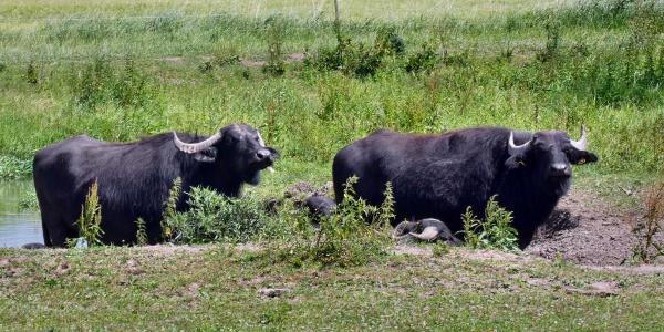 Wasserbüffel an der Aurach