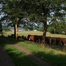 Kuhwiese zwischen Büschfeld un Nunkirchen