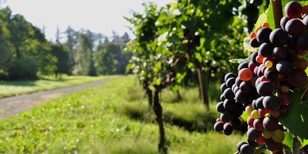 Der Fläsch-Trail - Der Trail für Weinliebhaber