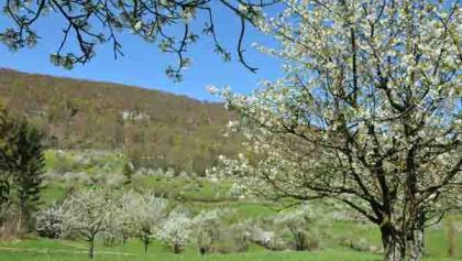 Kirschblütenlandschaft
