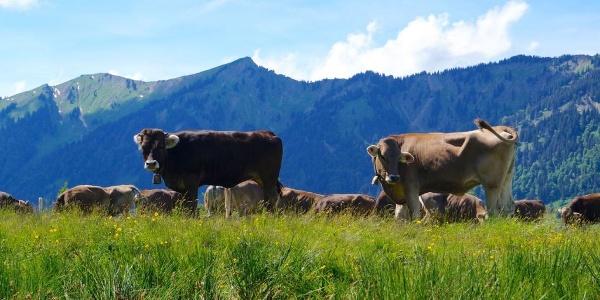Kühe auf der Alpe mit Blick auf Nagelfluhkette