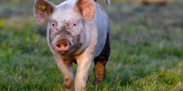 Schweine auf der Alp