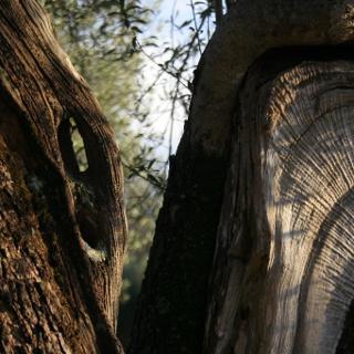 Der Weg führt durch alte Olivenhaine