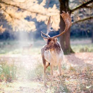 Hirsch im Wildgatter