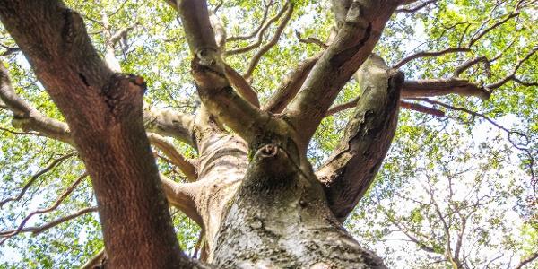 A hatalmas fa