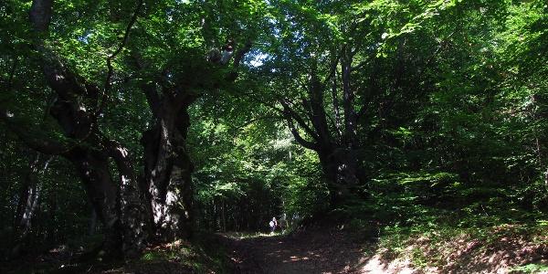 Buchenwälder am Javornik
