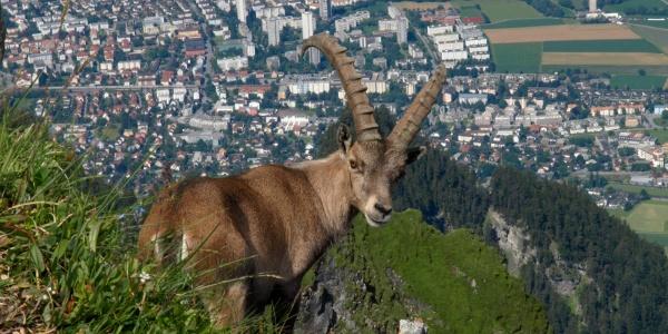 Steinbock beim Montalin oberhalb Chur