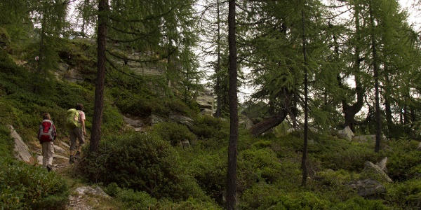 Wandern durch schöne Lärchenwälder.