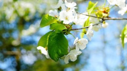Der Ort Hagen ist vor allem für seine vielen Kirschbäume bekannt. Wenn man im Frühjahr die richtige Woche für seine Radtour erwischt, kann man die ganze Blütenpracht erleben.