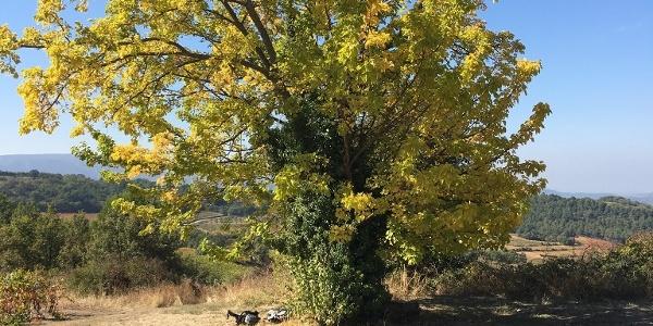 The big tree near Les Tourettes at 7.30km
