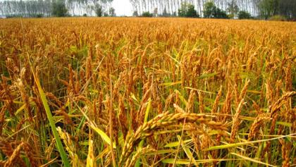 Rice field at Nicorvo ready to harvest