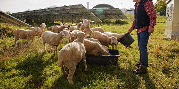 Schafe Erbenhof Weimar