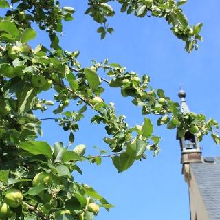 Apfelbaum am Kloster Buch