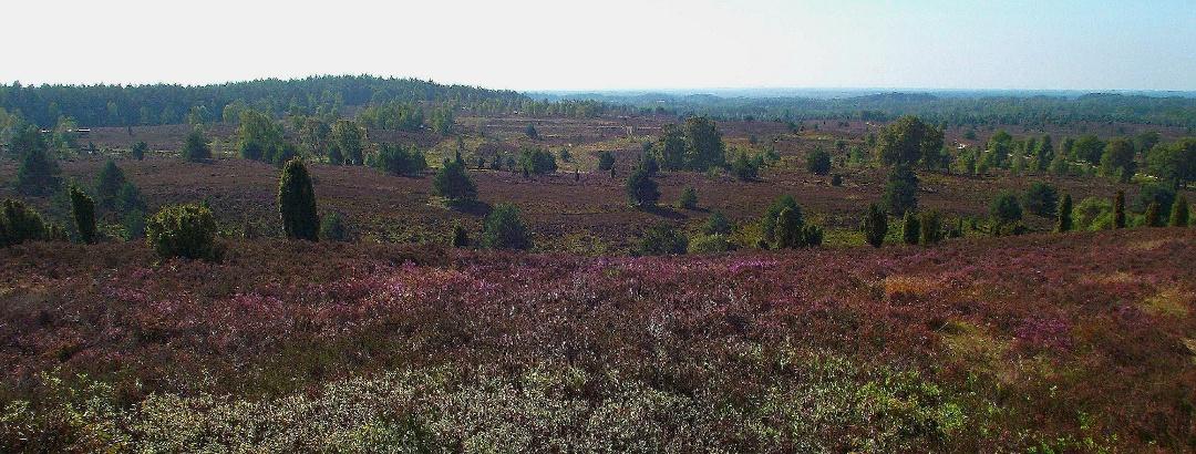 Blick vom Wilseder Berg auf weite blühende Heideflächen