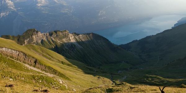 Steinböcke auf dem Brienzer Rothorn im Hintergrund der Brienzersee und die Berner Alpen