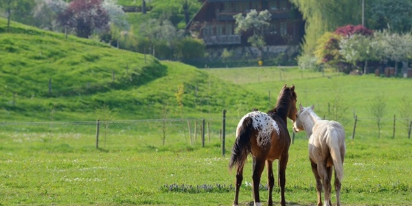 Pferde auf der Fancy Farm