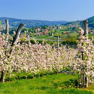 Steirische Apfelstraße in voller Blüte (c) Steiermark Tourismus Hagspiel