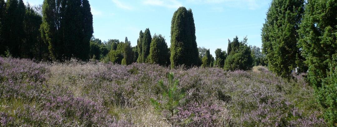 Die Bokeler Heide in der Südheide Gifhorn