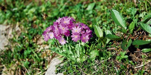Die Alp Sigel ist ein Pflanzenschutzgebiet.