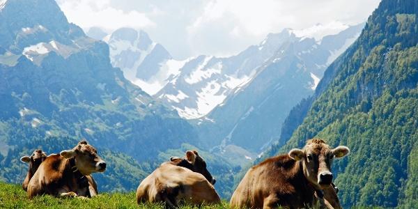 Aussicht mit Kühen, am Horizont der Altmann.