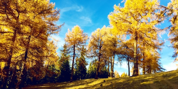 The larches of Balavaux