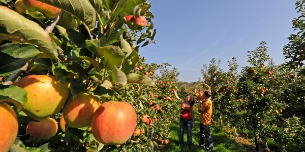 Im Herbst, wenn die Äpfel reif sind ist eine Fahrt durchs Apfeldorf Altnau besonders empfehlenswert