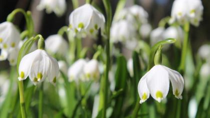 Frühlingsknotenblumen - Mühlwald (St. Ruprecht an der Raab, Etzersdorf)