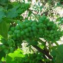 Profilbild von . Weintraube