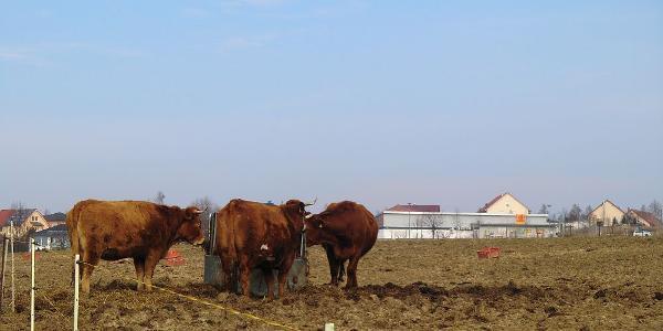 Kühe am Gönnsdorf-Helfenberger-Weg