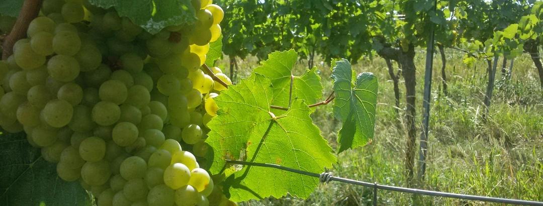 In den Weingärten bei Ulrichskirchen