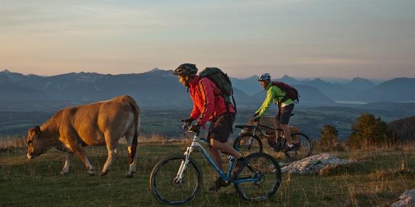 Rencontre bovine à travers les pâturages du Salève