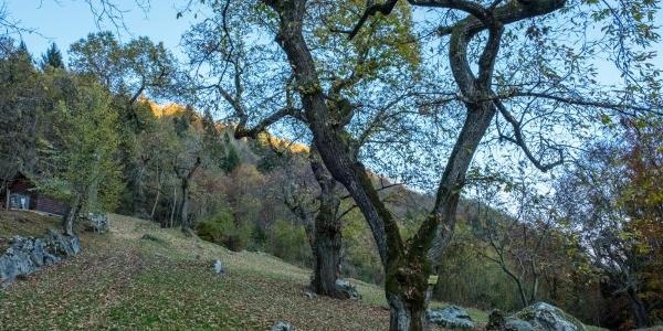 Ein Kastanienwald in der Nähe von Campi