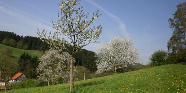 Kirschblüte auf der Streuobstwiese oberhalb der Heesfelder Mühle