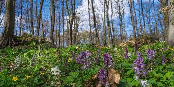 Odvas keltikék a Sarvalyi erdőben