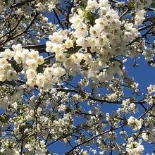 Frühe Kirschen in voller Blüte
