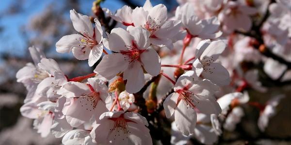 Japanische Zierkirschblüte.