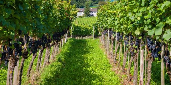 Reben am Ottenberg bei Weinfelden