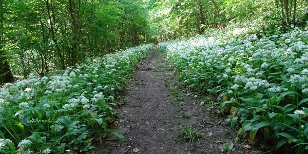 Der Bärlauch am Weg in der vollen Blüte