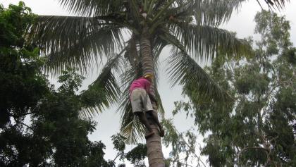 Kokosnussernte in Dar Es Salaam