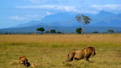 Löwen im Mikumi Nationalpark