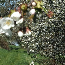 Das Leisawegle zur Kirschblüte